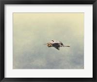 Blue Heron In Flight 2 Framed Print