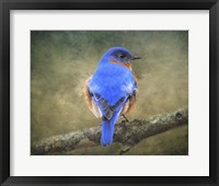 Framed Bluebird Portrait