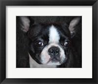 Framed Boston Terrier Portrait