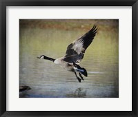 Canadian Goose In Flight 1 Framed Print