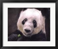 Framed Giant Panda Bear