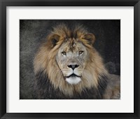 Framed Male Lion Portrait 1
