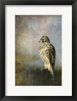 Framed On The Fence Red Shouldered Hawk