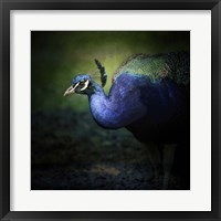 Peacock 1 Framed Print