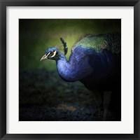 Framed Peacock 1