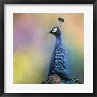 Framed Peacock 8
