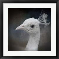 Framed Peacock 9