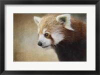 Framed Red Panda Watching