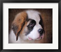 Framed Saint Bernard Puppy Portrait