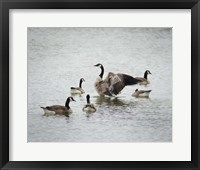 Framed Show Off Canadian Geese