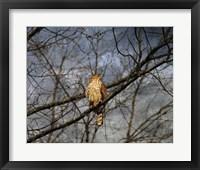 Framed Treetop Raptor