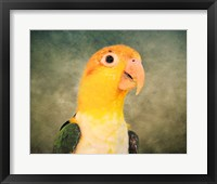 Framed White Bellied Caique Portrait