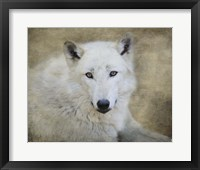 Framed White Wolf Portrait