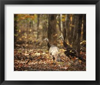 Framed Wild Turkey In The Woods