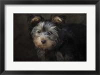 Framed Yorkie Puppy