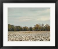 Framed Cotton Field In Autumn