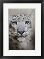 Framed Stare Of The Snow Leopard