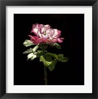 Framed Evening Rose