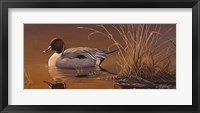 Framed Amber Light - Pintail