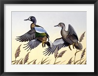 1981 Blue-Winged Teal Framed Print