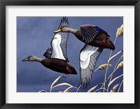 1984 Black Ducks Framed Print