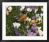 Framed Springtime Robin With Crocus