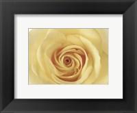 Framed Rose In Bloom