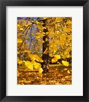 Framed Yellow Tree Leaves, Stuttgart, Germany