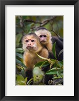 Framed White-Throated Capuchin Monkeys (Cebus capucinus) on tree, Tortuguero, Costa Rica