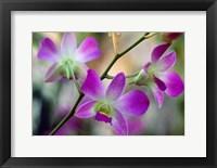 Framed Cattleya Orchid Flower Blossoms