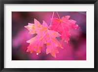 Framed Autumn Color Maple Tree Leaves