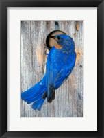 Framed Male Eastern Bluebird