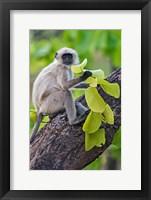 Framed Gray Langur Monkey, Kanha National Park, Madhya Pradesh, India