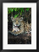Framed Jaguar, Pantanal Wetlands, Brazil