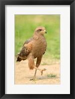 Framed Savanna Hawk, Pantanal Wetlands, Brazil
