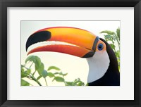 Framed Toco toucan (Ramphastos toco), Pantanal Wetlands, Brazil