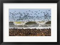 Framed Cape Fur Seals, Cape Cross, Namibia