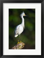 Framed Snowy Egret, Tortuguero, Costa Rica