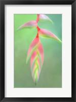 Framed Heliconia Flower, Sarapiqui, Costa Rica