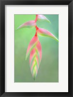 Framed Heliconia Flower, Sarapiqui, Costa Rica