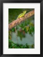 Framed Plumed Basilisk, Costa Rica