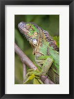 Framed Green Iguana, Sarapiqui, Costa Rica