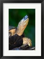 Framed Black Marsh Turtle, Tortuguero, Costa Rica