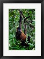Framed Spider Monkey, Sarapiqui, Costa Rica