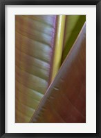 Framed Banana Leaf, Sarapiqui, Costa Rica