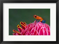 Framed Strawberry Poison-Dart Frog, Sarapiqui, Costa Rica