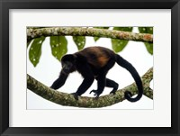 Framed Black Howler Monkey, Sarapiqui, Costa Rica