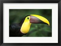 Framed Keel-Billed Toucan, Sarapiqui, Costa Rica
