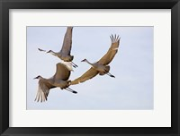 Framed Sandhill Cranes In Flight