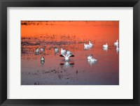 Framed Snow Geese On Water